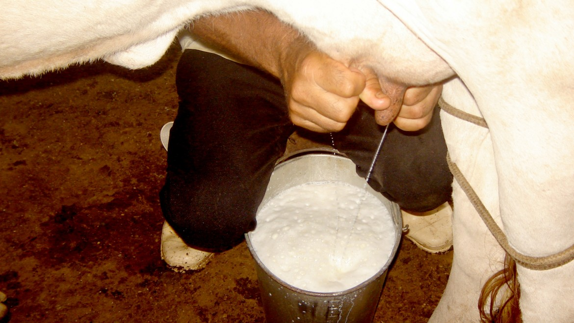 Image of a cow being milked by hand
